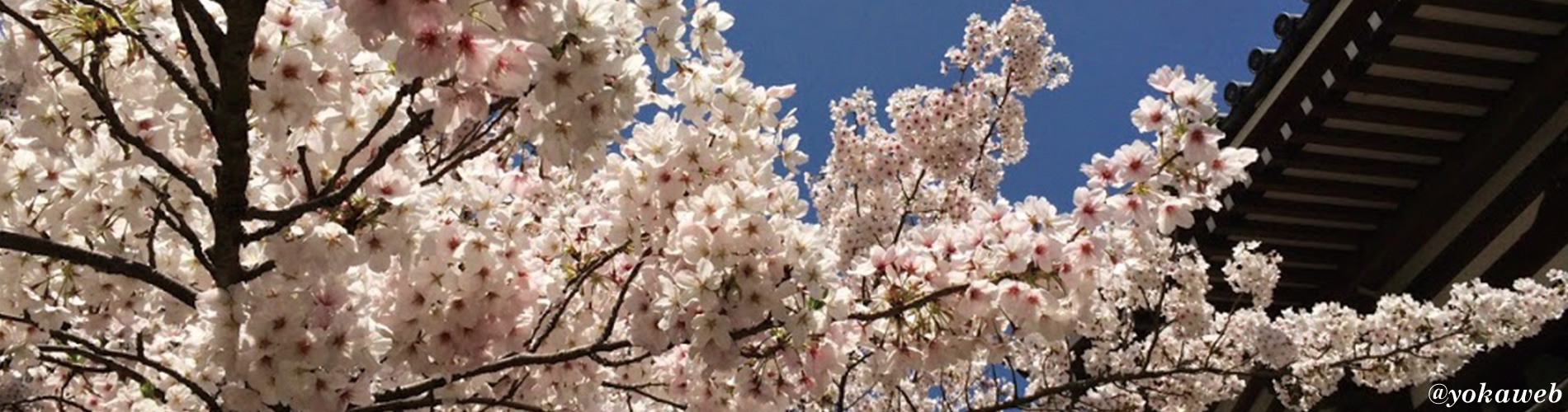 東長寺の桜